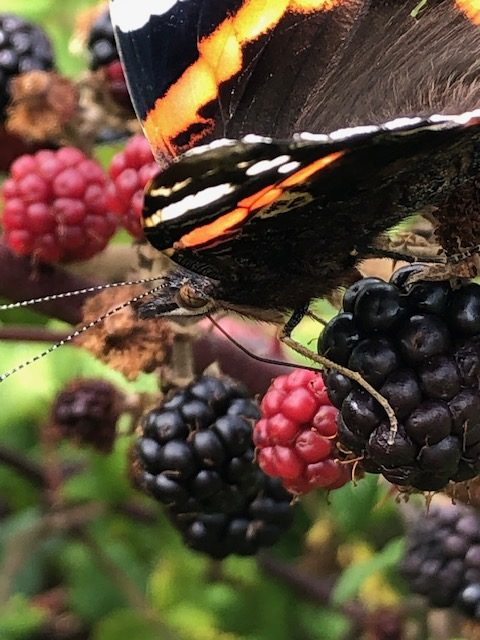 Butterfly and Blackberry